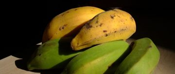 Yellow and green ripe and unripe bananas