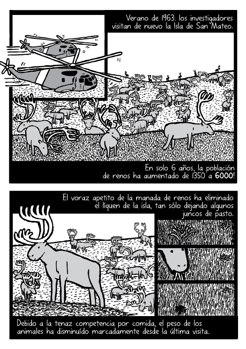 Cómic acerca de la manada de renos vistos desde el helicóptero. Dibujo de los renos pastando. Verano de 1963: los investigadores visitan de nuevo la Isla de San Mateo. En solo 6 años, la población de renos ha aumentado de 1350 a 6000! El voraz apetito de la manada de renos ha eliminado el líquen de la isla, tan sólo dejando algunos juncos de pasto. Debido a la tenaz competencia por comida, el peso de los animales ha disminuído marcadamente desde la última visita.