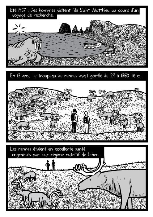 Dessin d'un troupeau de rennes et de chercheurs. Dessin de morse. Eté 1957 : Des hommes visitent l'île Saint-Matthieu au cours d'un voyage de recherche. En 13 ans, le troupeau de rennes avait gonflé de 29 à 1350 têtes. Les rennes étaient en excellente santé, engraissés par leur régime nutritif de lichen.