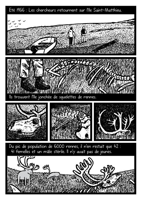 BD d'ossements de rennes. Dessin de bois de rennes morts. Eté 1966 : Les chercheurs retournent sur l'île Saint-Matthieu. Ils trouvent l'île jonchée de squelettes de rennes. Du pic de population de 6000 rennes, il n'en restait que 42 : 41 femelles et un mâle stérile. Il n'y avait pas de jeunes.