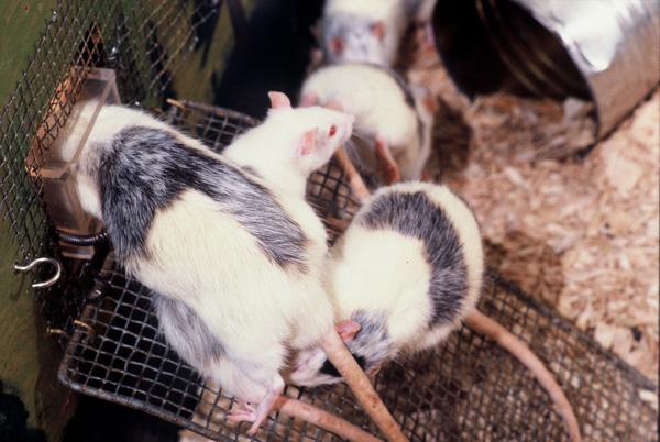Photo of Rat Park rats on ramp near fluid tunnel. Close-up of three rats.