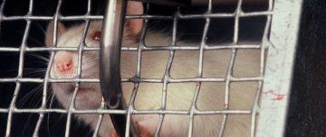 Lab rat in cage