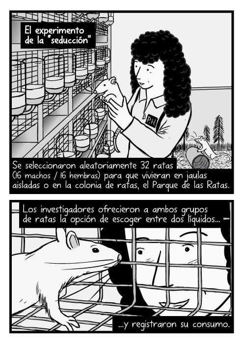 """El experimento de la """"seducción"""". Dibujo de una mujer científica sosteniendo una rata de laboratorio. Caricatura de una rata dentro de una jaula y un investigador buscándola. Se seleccionaron aleatoriamente 32 ratas (16 machos/16 hembras) para que vivieran en jaulas aisladas o en la colonia de ratas, el Parque de las Ratas. Los investigadores ofrecieron a ambos grupos de ratas la opción de escoger entre dos líquidos...y registraron su consumo."""