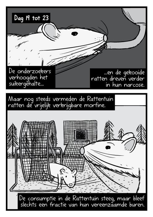 Zwart wit rat close-up tekeningen. Rattentuin loopwiel strip. Dag 19 tot 23. De onderzoekers verhoogden het suikergehalte...en de gekooide ratten dreven verder in hun narcose. Maar nog steeds vermeden de Rattentuin ratten de vrijelijk verkrijgbare morfine. De consumptie in de Rattentuin steeg, maar bleef slechts een fractie van hun vereenzaamde buren.