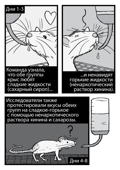 Карикатурные крысы пьют из трубочек, чёрно-белое изображение. Дни 1-3. Команда узнала, что обе группы крыс любят сладкие жидкости (сахарный сироп) и ненавидят горькие жидкости (ненаркотический раствор хинина). Исследователи также протестировали вкусы обеих групп на сладкое-горькое с помощью ненаркотического раствора хинина и сахарозы. Дни 4-8