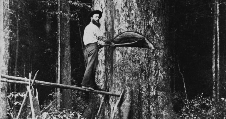 Old photo of timber workers chopping down a tree by hand using axe.
