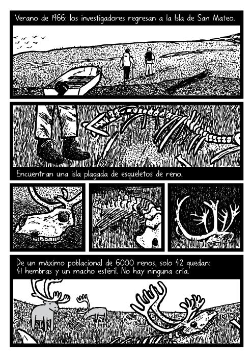Cómic ilustrando restos de renos, huesos de reno, osamenta de renos. Dibujo de cornamenta de renos muertos. Verano de 1966: los investigadores regresan a la Isla de San Mateo. Encuentran una isla plagada de esqueletos de reno. De un máximo poblacional de 6000 renos, solo 42 quedan: 41 hembras y un macho estéril. No hay ninguna cría.