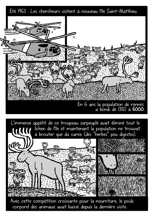 """BD d'un hélicoptère et d'un troupeau de rennes. Des rennes broutant de l'herbe. Eté 1963 : Les chercheurs visitent à nouveau l'île Saint-Matthieu. En 6 ans la population de rennes a bondi de 1350 à 6000. L'immense appétit de ce troupeau surpeuplé avait éliminé tout le lichen de l'île et maintenant la population ne trouvait à brouter que du carex (des """"herbes"""" peu digestes). Avec cette compétition croissante pour la nourriture, le poids corporel des animaux avait baissé depuis la dernière visite."""