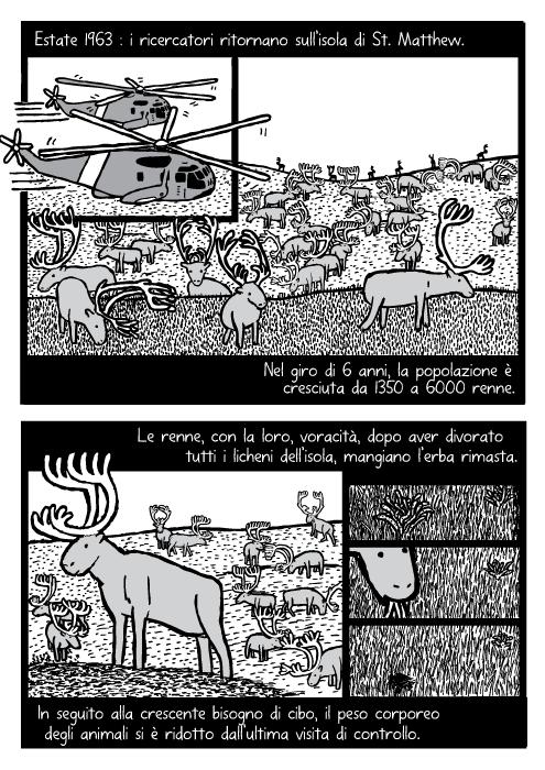 Elicottero sopra la mandrie di renne. Vignetta di renne che mangiano erba. Estate 1963 : i ricercatori ritornano sull'isola di St. Matthew. Nel giro di 6 anni, la popolazione è cresciuta da 1350 a 6000 renne. Le renne, con la loro, voracità, dopo aver divorato tutti i licheni dell'isola, mangiano l'erba rimasta. In seguito alla crescente bisogno di cibo, il peso corporeo degli animali si è ridotto dall'ultima visita di controllo.