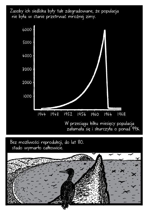 Zasoby ich siedliska były tak zdegradowane, że populacja nie była w stanie przetrwać mroźnej zimy. W przeciągu kilku miesięcy populacja załamała się i skurczyła o ponad 99%. Bez możliwości reprodukcji, do lat 80. stado wymarło całkowicie.