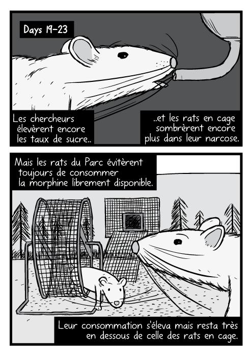 Des dessins de rats en gros plan et en noir et blanc. Un rat du parc est dans une roue à hamster. Les chercheurs élevèrent encore les taux de sucre.. ..et les rats en cage sombrèrent encore plus dans leur narcose. Mais les rats du Parc évitèrent toujours de consommer la morphine librement disponible. Leur consommation s'éleva mais resta très en dessous de celle des rats en cage.