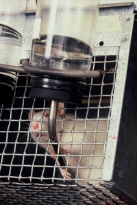 Rat in a cage grabs fluid bottle dispenser. Low angle view of wistar albino rat from Rat Park drug experiment.